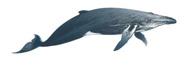 illustration-drawing-style-of-humpback-whale-vector.png