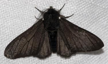 Phalène du bouleau : forme sombre (carbonaria)